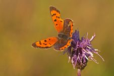 Butterfly, Lycaena