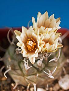 Free Turbinicarpus Macrochele Stock Images - 3665774
