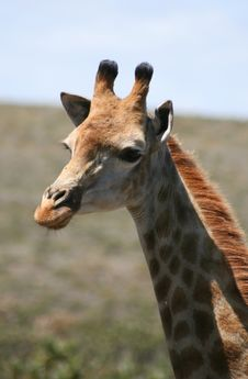 Free Giraffe Portrait Stock Photography - 3666702