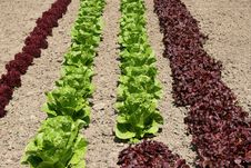 Lettuce Variety Stock Images