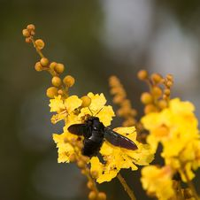Giant Carpenter Bee Royalty Free Stock Photo