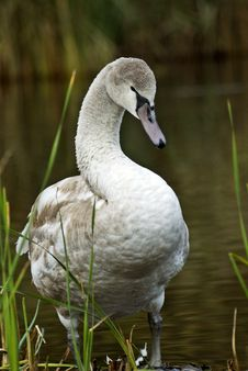 Free Young Swan Royalty Free Stock Images - 3668319