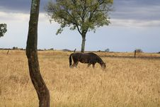 Free Grazing Horse Royalty Free Stock Photography - 3668877