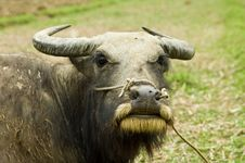 Free Puzzled By The Cattle Royalty Free Stock Images - 3668999
