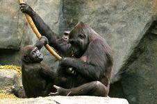 Free Gorilla Family Royalty Free Stock Images - 3669079