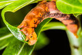 Free Butterfly Larva On Tree Royalty Free Stock Image - 36601906