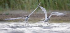 Free Sandwich Tern &x28;Thalasseus Sandvicensis &x29;. Stock Photos - 36601983