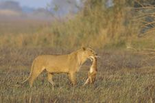 Lioness With Prey. Royalty Free Stock Images