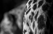 Free Leopard Croup Detail Stock Photos - 36618143