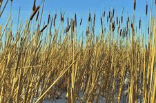 Free Reed On Snow-covered Royalty Free Stock Images - 36618299