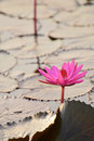 Free Red Lotus Pond Stock Photography - 36628042