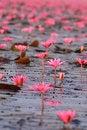 Free Red Lotus Pond Royalty Free Stock Photos - 36628138
