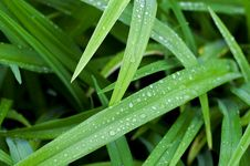 Free Reeds With Waterdrops Stock Photo - 36620200