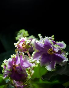 Free Blooming African Violet Isolated On Black Stock Photo - 36622610