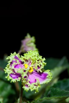 Free Blooming African Violet Isolated On Black Royalty Free Stock Photography - 36622747