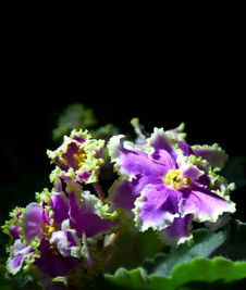 Free Blooming African Violet Isolated On Black Stock Images - 36622754