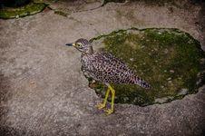 Thick Knee Bird Stock Photo