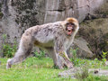Free Berber Monkey Showing Teeth Royalty Free Stock Photo - 36635935