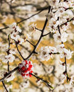 Free Blossoms Royalty Free Stock Photography - 36639507