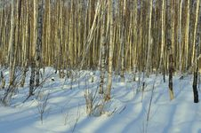 Free The Winter Birch Forest Stock Image - 36634261
