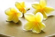 Free White Yellow Frangipani Stock Photo - 36636060