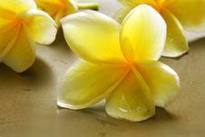 Free White Yellow Frangipani Royalty Free Stock Image - 36636276
