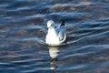 Free Bonapartes Gull Stock Photography - 36648382