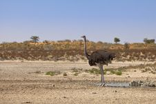 Ostrich At A Waterhole In The Desert Stock Image