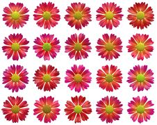 Free Red Open Flowers Pattern On White Backgrounds Stock Photo - 36642040