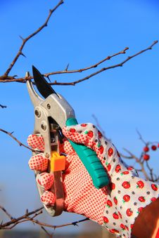 Free Hand In Glove With Gardener Shears Royalty Free Stock Photography - 36643627