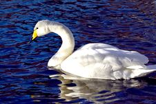 Free Swan Stock Image - 36644191