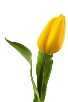 Free Yellow Tulip Isolated On White Stock Photography - 36644292