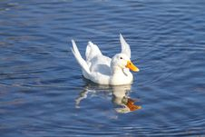 Malnourished Duck With Angel Wings Royalty Free Stock Photography
