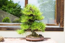 Free Pine Tree Bonsai And Window Wood Royalty Free Stock Photo - 36648725
