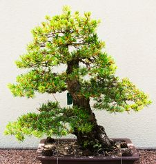 Bonsai Pine Tree In Green And Yellow Colors Royalty Free Stock Photo