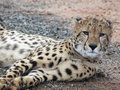 Free Cheetah Stock Image - 36650531