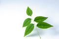 Free Green Leaves On White Background Stock Image - 36655781