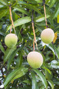 Free Three Mangoes Royalty Free Stock Photos - 36655858