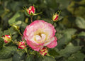 Free Branch Of Pink Roses In Bud On Foliage Background Royalty Free Stock Image - 36658206