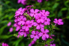 Free Phlox Paniculata Stock Photography - 36650932