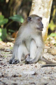 Free Male Monkey Royalty Free Stock Photo - 36652495