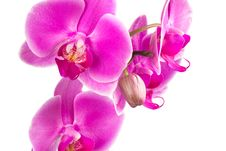 Free Big Orchid Flowers Stock Photo - 36656760