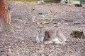 Free Fallow-deer Royalty Free Stock Photo - 36666295
