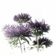 Free Purple Asters Royalty Free Stock Images - 36669079