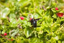 Free Black Carpenter Bee Royalty Free Stock Photography - 36670747