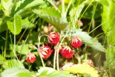 Free Wild Strawberry In The Field Stock Images - 36670784