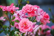 Free Bushes Of Pink Roses . Stock Photography - 36670802