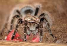 Free Tarantula Stock Photography - 36672062