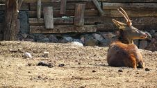 Free Deer Royalty Free Stock Photo - 36677915