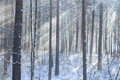 Free Beams Through Frosty Fog In The Winter Pine Wood Stock Photography - 36680862